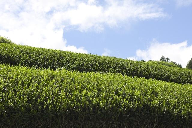 緑茶 認知症