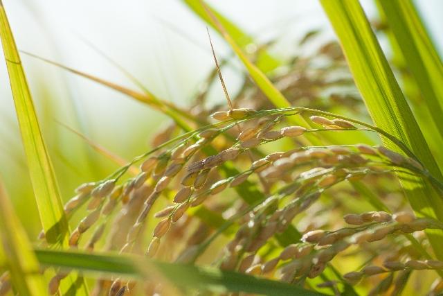 玄米酵素 稲穂